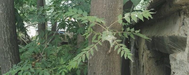 臭椿树籽怎么种?