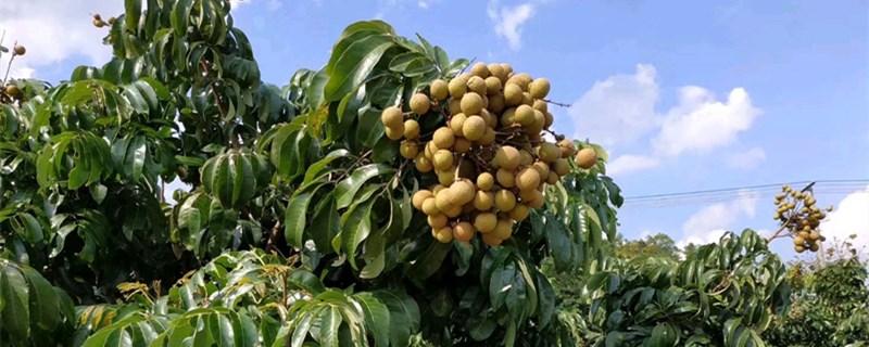 盆栽桂圆树几年结果?
