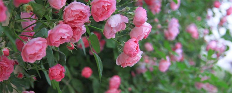 蔷薇和玫瑰的区别
