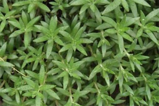 绿色的盆垂草