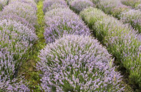 熏衣草是哪个季节开花的