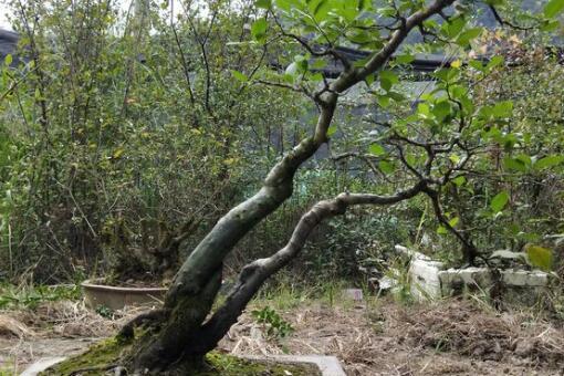 老鸦柿下山桩