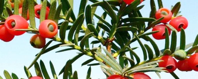 红豆杉几年才能结果
