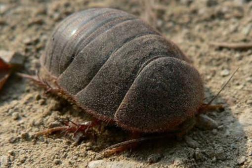 2019年土鳖虫多少钱一斤