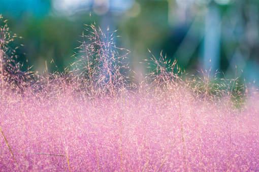 網紅粉黛花海是什么