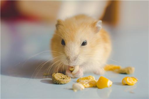 家里養倉鼠會不會傳染鼠疫