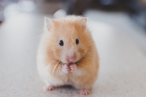 养仓鼠是否会染上鼠疫