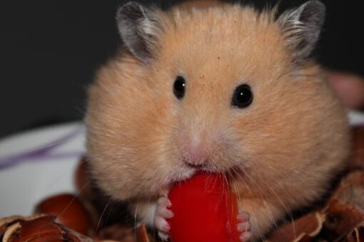 小仓鼠多少钱一只