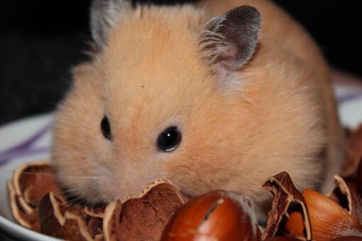 小仓鼠怎么养