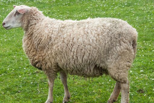 2020年农村养羊有补贴吗