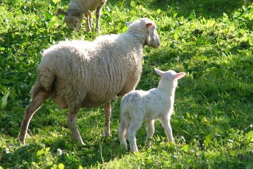为什么有的人领不到养羊补贴