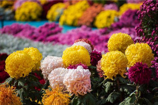 盆栽菊花怎样才能开花多