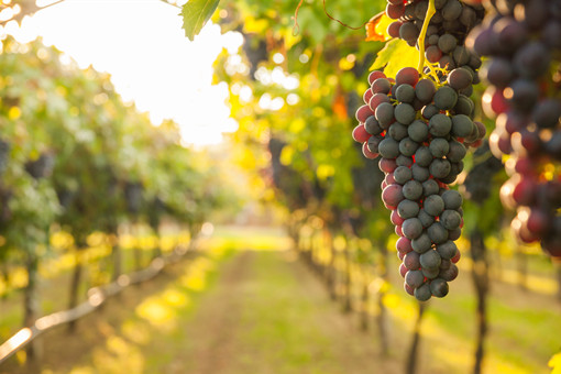 葡萄有哪些常见的病害