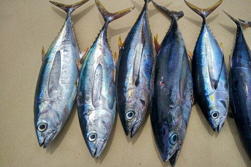 鱼王拍近2亿日元