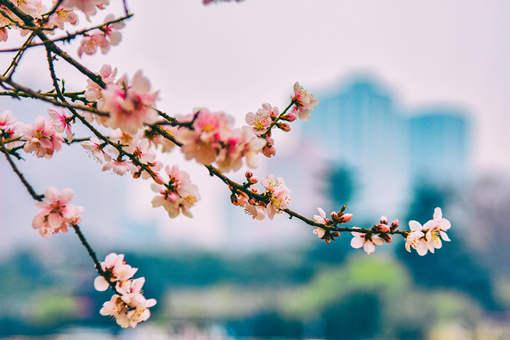 盆栽桃花栽种和管理要点要注意