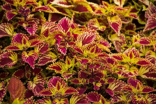 彩叶草和紫苏有什么区别