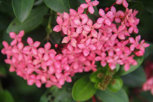 繁星花盆栽日常养护怎么做