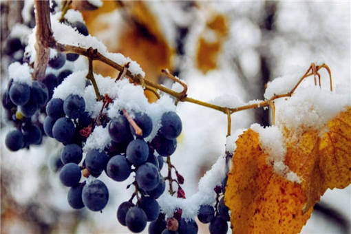 果树采取抗冻措施