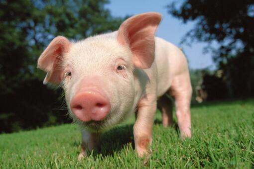 生猪价格连续13周下降