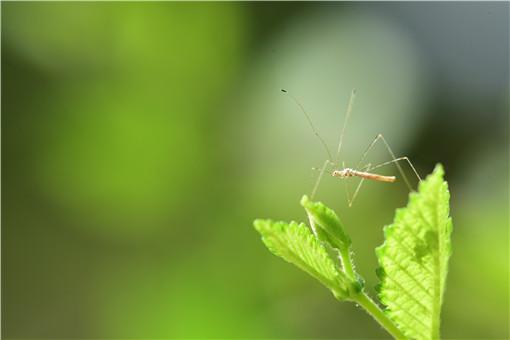 常见的驱蚊植物有哪些