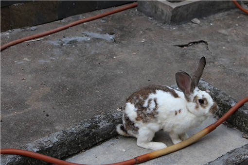 兔子-摄图网