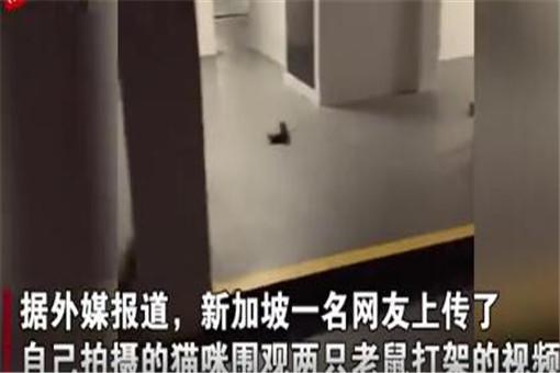 【惊呆】两只老鼠站立互殴一旁猫咪被吓傻!网友:惊呆了