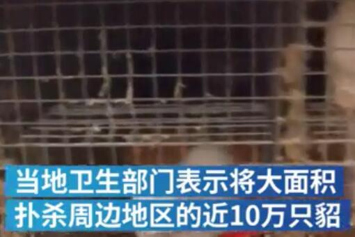 西班牙将扑杀10万只养殖貂-视频截图