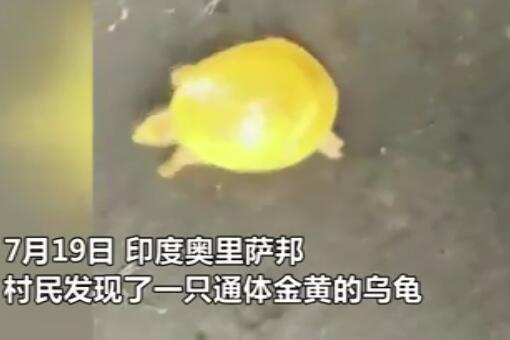 印度渔民发现金色乌龟-视频截图