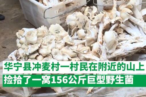 云南村民捡到312斤巨型野生菌-视频截图