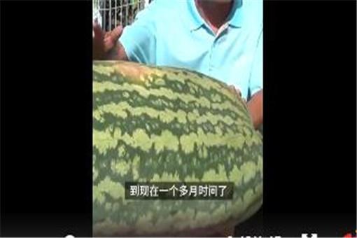 大爷种出160斤大西瓜   西瓜怎么种植才能高产?