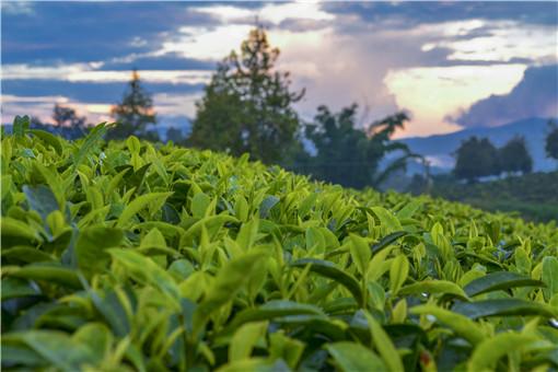 茶-摄图网