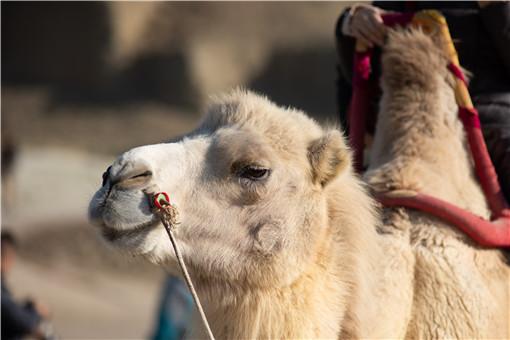 甘肃发现首例白化野骆驼-摄图网