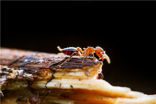 紅火蟻-攝圖網
