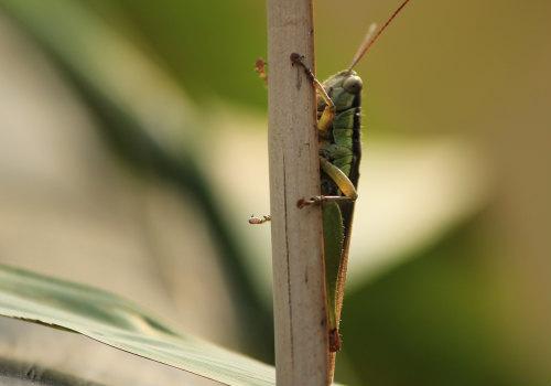 蝗虫-摄图网