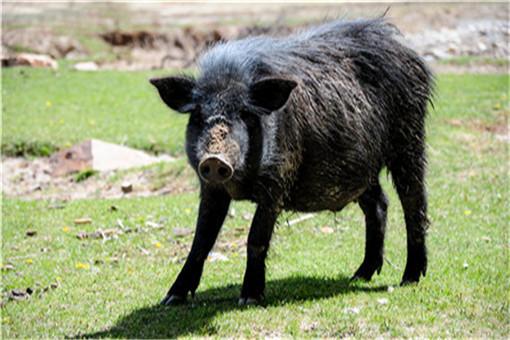 野猪窜进奶茶店吓坏女店员 野猪是怎么进来的