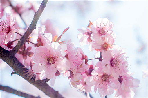 鲜桃花怎么做纯露_鲜桃花功效_鲜桃花水