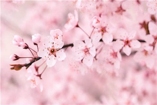 樱花几月开的最旺盛图片