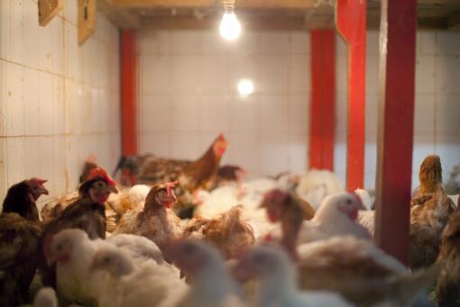 目前的养鸡前景如何-摄图网