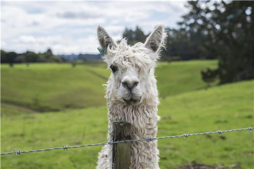 羊驼多少钱一只-摄图网