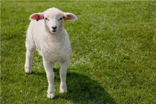 80斤的羊能杀多少斤肉-摄图网