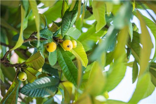 种在庭院里的枇杷树能长多高?栽下几年后能结果?