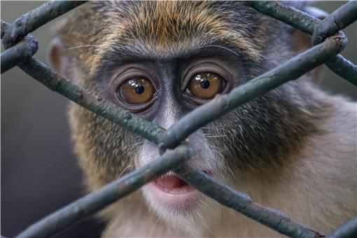 云南发现国家一级保护动物熊猴-摄图网