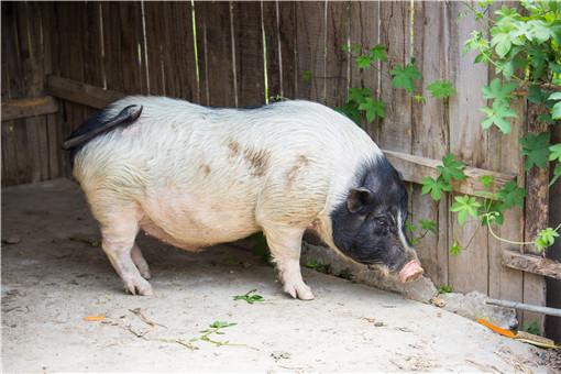野豬肉多少錢一斤-攝圖網