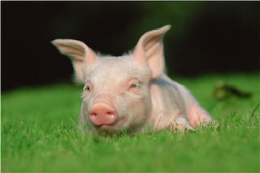 養豬怎么喂才長得快-攝圖網