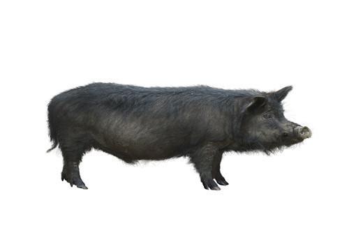 母豬人工配種步驟-攝圖網