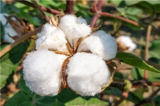 新疆種植棉花的有利條件是什么-攝圖網