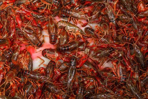 小龍蝦季節幾月到幾月-攝圖網