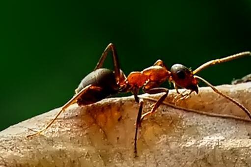 紅火蟻最怕什么-攝圖網