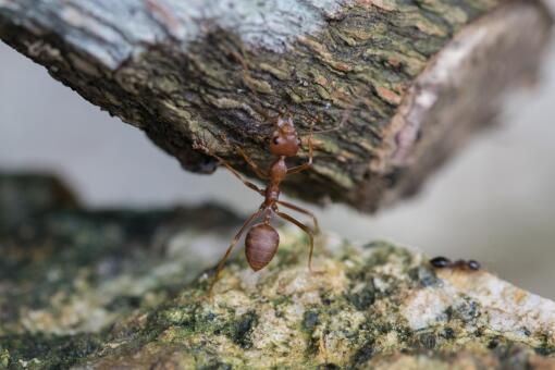 紅火蟻如何消滅用什么藥-攝圖網