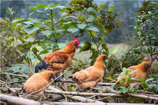 農村加盟養殖項目-攝圖網